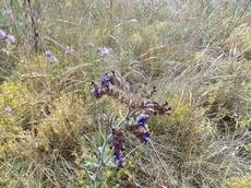 Pilát lékařský (Anchusa officinalis)