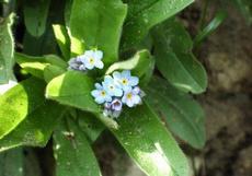 Pomněnka volnokvětá (Myosotis laxiflora)