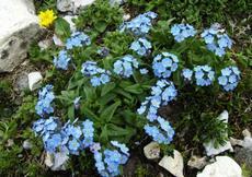 Pomněnka vysokohorská (Myosotis alpestris)