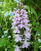 Vstavač plamatý  (Orchis maculata)
