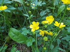 Pryskyřník plazivý (Ranunculus repens)
