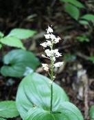 Pstroček dvoulistý (Maianthemum bifolium)