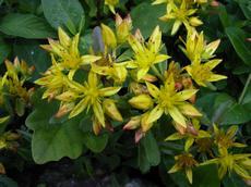 Rozchodník kamčatský (Sedum kamtschaticum )