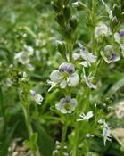 Rozrazil douškolistý (Veronica serpyllifolia)