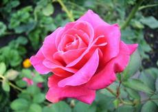 Růže (Rosa)  - Better Times