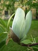 Šácholan zašpičatělý (Magnolia acuminata)