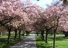 Sakura ozdobná (Padus serrulata)