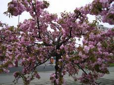 Sakura ozdobná 'Kiku-shidare Sakura' (Padus serrulata 'Kiku-shidare Sakura')