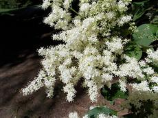 Šeřík japonský (Syringa reticulata)