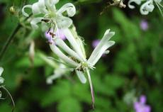 Silenka nící (Silene nutans)