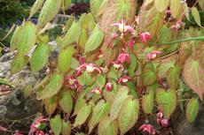 Škornice (Epimedium x Rubrum) - Fotografie převzaty od Míši Coufalové=).