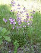 Smolnička obecná (Lychnis viscaria )