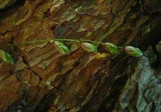 Strdivka nicí (Melica nutans)