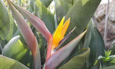 Strelicie (Strelitzia reginae) - Fotografie převzaty od Lucky Zinke=)