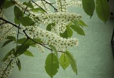 Střemcha obecná (Prunus padus)