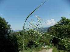 Sveřep střešní (Bromus tectorum)