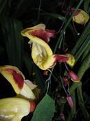 Thunbergia mysorensis Thunbergia mysorensis