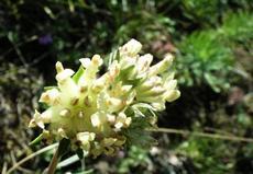 Úročník bolhoj (Anthyllis vulneraria)