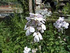 Večernice vonná (Hesperis matronalis)