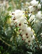 Vřesovec darleydalský (Erica darleyensis)