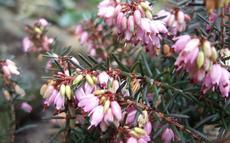 Vřesovec pleťový (Erica herbacea) - Fotografie převzaty od Míši Coufalové=).