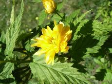 Zákula japonská 'Pleniflora' (Kerria japonica 'Pleniflora')