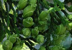 Zerav obrovský (Thuja plicata)