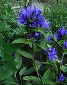 Zvonek klubkatý (Campanula glomerata)