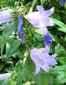 Zvonek kopřivolistý (Campanula trachelium)